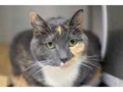 Adopt Kandy a Gray or Blue Domestic Shorthair / Domestic Shorthair / Mixed cat