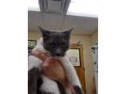Adopt Dinky a Gray or Blue Domestic Shorthair / Domestic Shorthair / Mixed cat