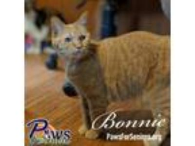 Adopt Bonnie a Orange or Red Domestic Shorthair / Mixed (short coat) cat in
