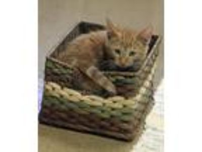 Adopt PEEPERS a Orange or Red Tabby Domestic Shorthair (short coat) cat in