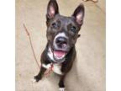Adopt Otis a Akita / Mixed dog in Austin, TX (25541994)