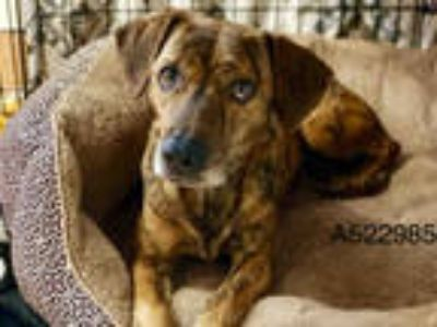Adopt a Brindle - with White Dachshund / Mixed dog in San Antonio, TX (24892405)