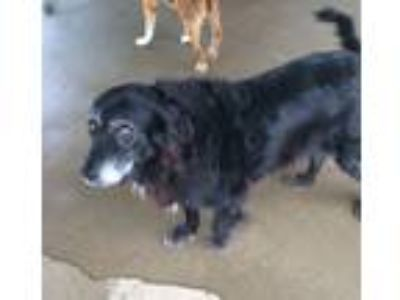 Adopt Maddy a Black - with White Border Collie / Retriever (Unknown Type) /