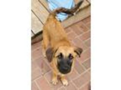 Adopt Sunbird a Tan/Yellow/Fawn - with Black German Shepherd Dog / Labrador