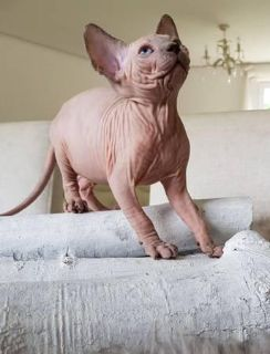 consummate Sphynx Kittens Currently Available
