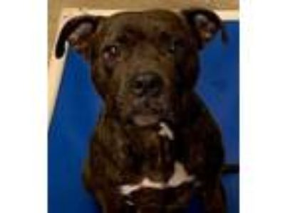 Adopt Maddy a Boxer, Pit Bull Terrier