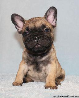 AKC Blue/Choco/Tan Carrier French Bulldog Puppy Girl (Charm)