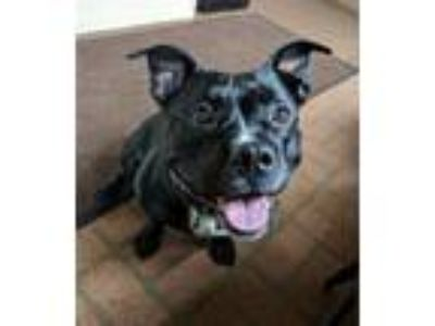 Adopt Tallulah a Pit Bull Terrier