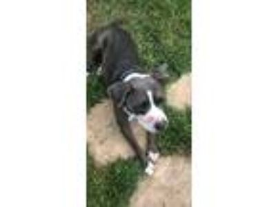Adopt Ziggy a Gray/Blue/Silver/Salt & Pepper Bull Terrier / Mixed dog in