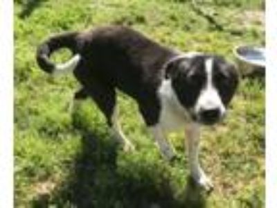 Adopt Betty a Australian Shepherd, Border Collie