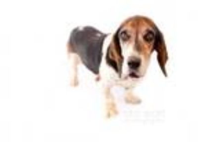 Adopt Waldo a Tricolor (Tan/Brown & Black & White) Basset Hound / Mixed dog in