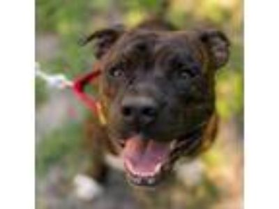 Adopt Commander a Brindle Shepherd (Unknown Type) dog in Jacksonville