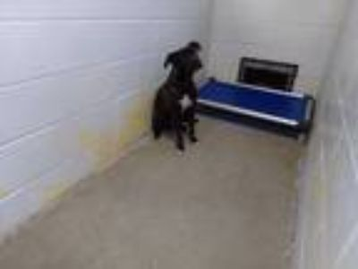 Adopt Bella a Black American Pit Bull Terrier / Mixed dog in WILSON