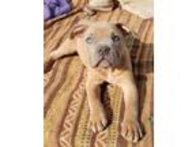 Adopt Freddy a Pit Bull Terrier, American Staffordshire Terrier
