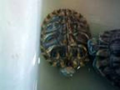 Adopt a Turtle - Other / Mixed reptile, amphibian, and/or fish in Denver