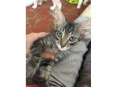 Adopt Kanga a Brown Tabby Maine Coon cat in Youngsville, NC (25860744)