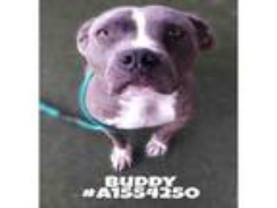 Adopt BUDDY a Mixed Breed, Staffordshire Bull Terrier
