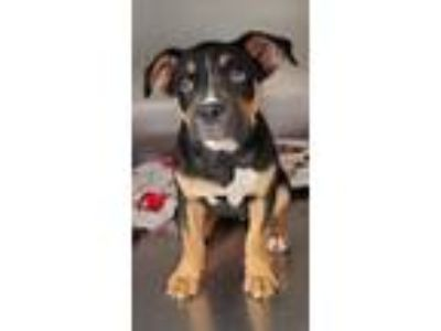 Adopt Busy Bee a Boxer, Pit Bull Terrier