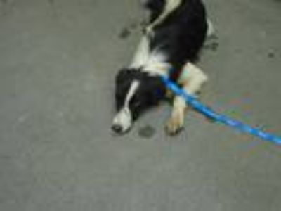 Adopt BREEZE a Black - with White Border Collie / Mixed dog in Fairfield