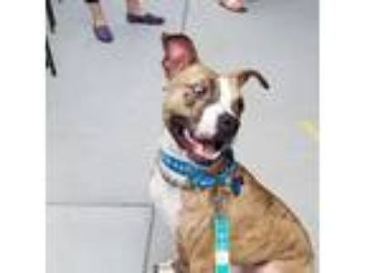Adopt Wallace a Brindle - with White American Pit Bull Terrier / Mixed dog in