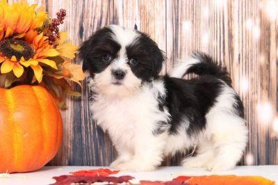 Shih Tzu PUPPY FOR SALE ADN-104944 - Bo Spunky Little Male ShihTzu Puppy