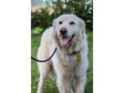 Adopt Maybelle a White - with Tan, Yellow or Fawn Great Pyrenees / Golden