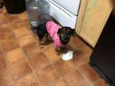 Adopt Isic a Black - with Tan, Yellow or Fawn Dachshund / Doberman Pinscher /