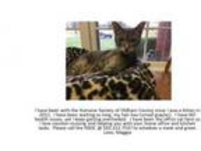 Adopt MAGGIE a Domestic Short Hair