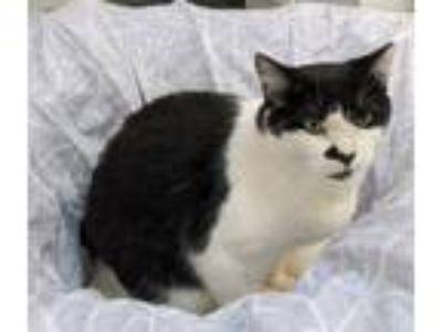 Adopt Luke a Domestic Short Hair, American Shorthair