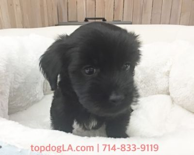 Yorkshire Terrier-Poodle (Toy) Mix PUPPY FOR SALE ADN-76737 - Yorkypoo Male Pepper