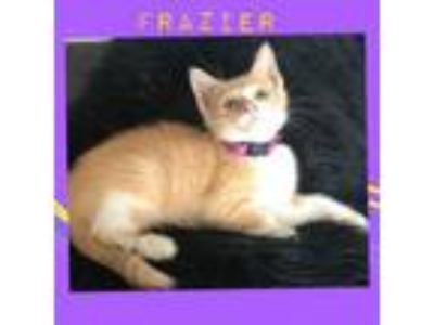 Adopt Frazier a Domestic Short Hair, Tabby