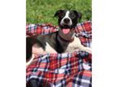 Adopt PUPPY - Cassidy!! a Black - with White American Pit Bull Terrier / Mixed