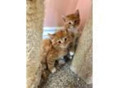 Adopt *Simba (Foster Home) a Domestic Short Hair