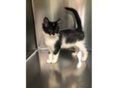 Adopt 3 ADORABLE KITTENS AVAILABLE a Black & White or Tuxedo Domestic Shorthair