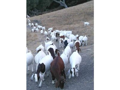 BOER GOATS, $150/EA, CASH ONLY, NO DELIVERY, ...