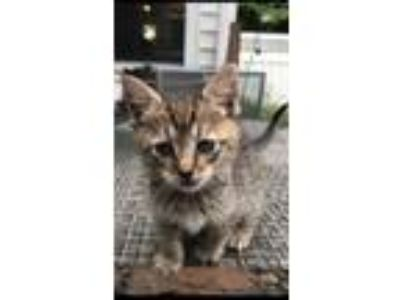 Adopt Muffin a Brown Tabby Domestic Shorthair / Mixed (short coat) cat in