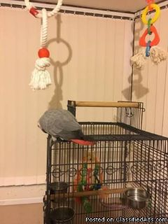 Rehoming African Grey