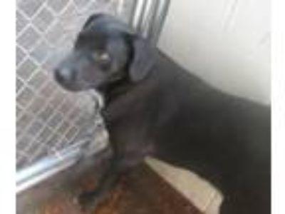 Adopt Brutus a Labrador Retriever, Shepherd