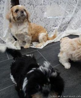 Happy Shih Tzu Puppies
