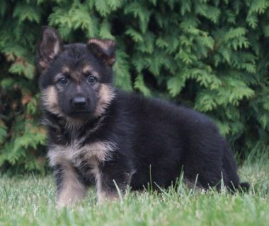 German Shepherd Dog PUPPY FOR SALE ADN-89379 - Amazing AKC German  Shepherd Puppies