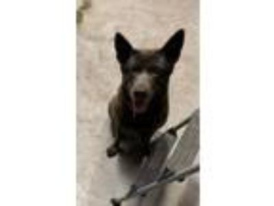 Adopt Sasha a Gray/Silver/Salt & Pepper - with Black German Shepherd Dog /