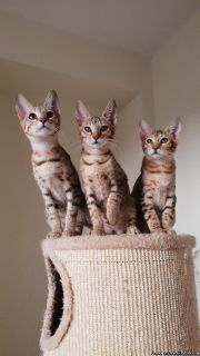 F4 Savannah Kittens Available Tica Registered