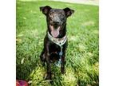 Adopt Tyro a Black Terrier (Unknown Type, Medium) / Shepherd (Unknown Type) /