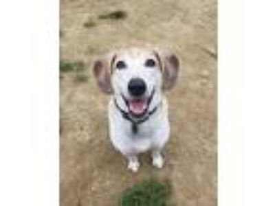 Adopt Toby a Tricolor (Tan/Brown & Black & White) Beagle / Hound (Unknown Type)