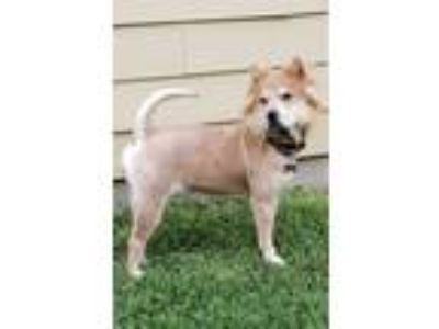 Adopt Delta a White - with Tan, Yellow or Fawn Chow Chow / Mixed dog in Houston