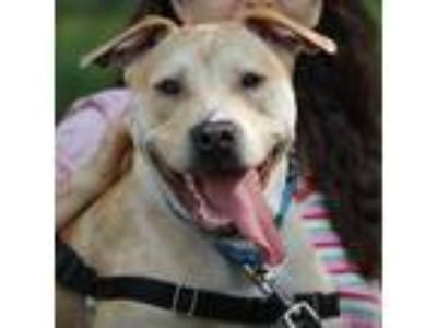 Adopt Apollo a Tan/Yellow/Fawn American Pit Bull Terrier / Mixed dog in