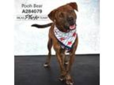 Adopt POOH BEAR a Brindle - with White American Pit Bull Terrier / Mixed dog in