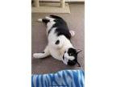 Adopt Piper a Black & White or Tuxedo Domestic Shorthair (short coat) cat in