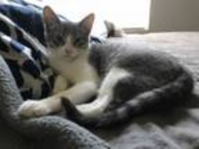 Adopt Jester a Domestic Short Hair