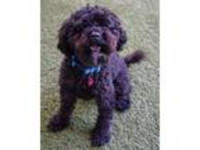 Adopt Jett a Poodle (Miniature) / Mixed dog in Novato, CA (25629232)